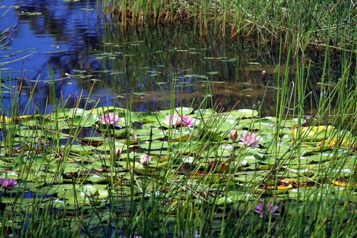waterliliy2