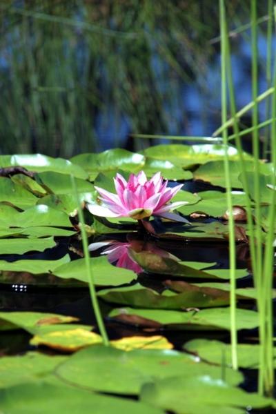 waterliliy4